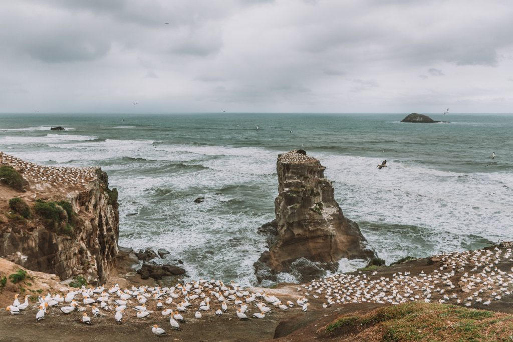 50 places to see in New Zealand, Auckland, Muriwai Beach