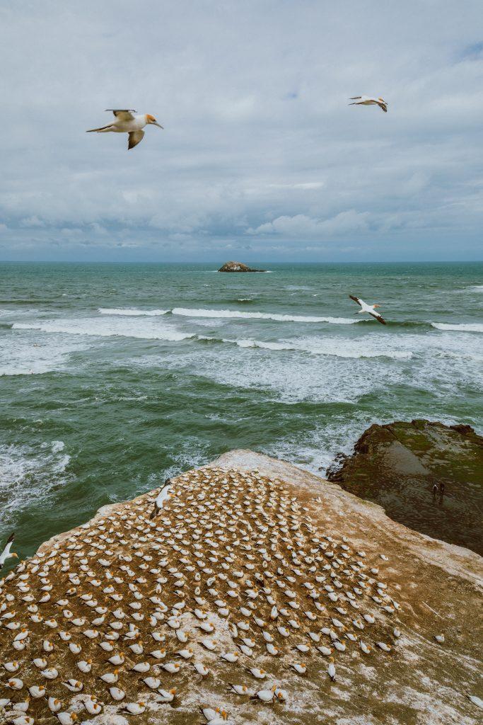 Auckland Attractions - Muriwai Beach