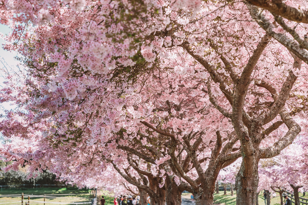 thestylejungle-New-Zealand-Waikato-Cherry-Tree-Festival-Cambridge-2018-travel-blog