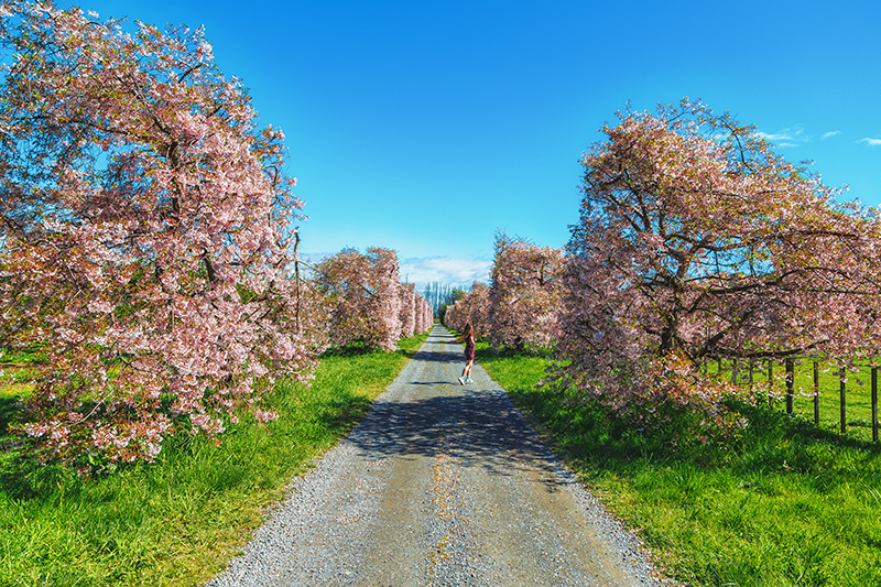 thestylejungle-New-Zealand-Cherry-Tree-Festival-Hawkes-Bay-2018-travel-blog